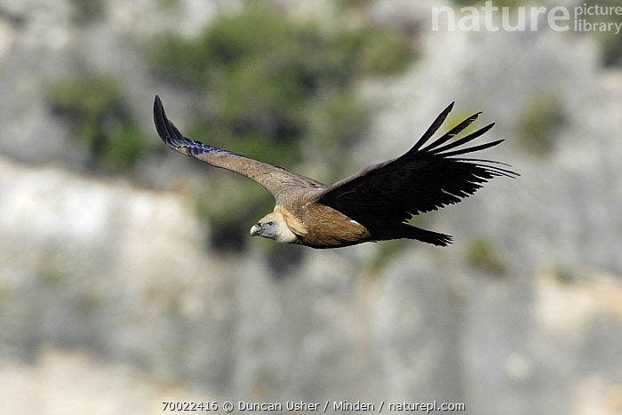 Griffon Vulture (Gyps fulvus) flying, Andalucia, Spain  ,  Adult, Andalucia, Color Image, Day, Flying, Full Length, Griffon Vulture, Gyps fulvus, Horizontal, Nobody, One Animal, Outdoors, Photography, Raptor, Side View, Spain, Wildlife,Griffon Vulture,Spain  ,  Duncan Usher