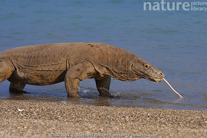 Komodo Dragon (Varanus komodoensis) standing in the sea with tongue extended, Komodo Island, Komodo National Park, Indonesia  ,  Adult, Color Image, Day, Horizontal, Indonesia, Komodo Dragon, Komodo Island, Komodo National Park, Nobody, One Animal, Outdoors, Photography, Side View, Threatened Species, Three Quarter Length, Tongue, Varanus komodoensis, Vulnerable Species, Wildlife,Komodo Dragon,Indonesia  ,  Stephen Belcher