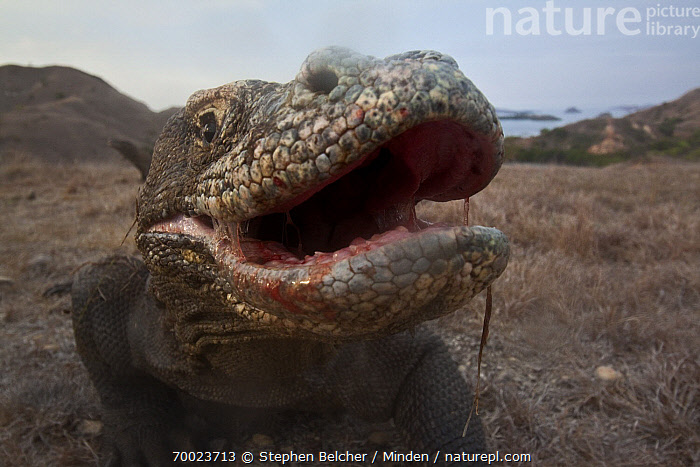 Komodo Dragon (Varanus komodoensis) with infectious saliva dripping from mouth, Komodo Island, Komodo National Park, Indonesia  ,  Adult, Color Image, Day, Face, Front View, Horizontal, Indonesia, Komodo Dragon, Komodo Island, Komodo National Park, Looking at Camera, Nobody, One Animal, Open Mouth, Outdoors, Photography, Portrait, Saliva, Threatened Species, Varanus komodoensis, Vulnerable Species, Wildlife,Komodo Dragon,Indonesia  ,  Stephen Belcher