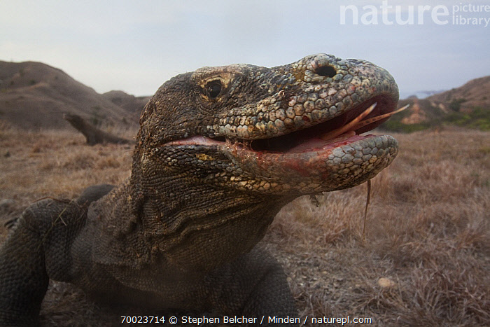 Komodo Dragon (Varanus komodoensis) with saliva dribbling from mouth, Rinca Island, Komodo National Park, Indonesia  ,  Adult, Color Image, Day, Drooling, Face, Front View, Head and Shoulders, Horizontal, Indonesia, Komodo Dragon, Komodo National Park, Nobody, One Animal, Open Mouth, Outdoors, Photography, Portrait, Profile, Rinca Island, Varanus komodoensis, Wildlife, World Heritage Site,Komodo Dragon,Indonesia  ,  Stephen Belcher