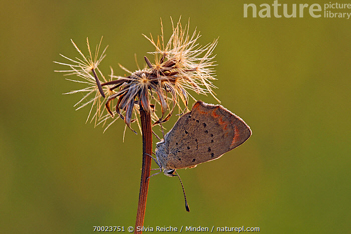 Small Copper (Lycaena phlaeas) butterfly on seedhead, Pruggern, Styria, Austria  ,  Adult, Austria, Butterfly, Color Image, Day, Full Length, Horizontal, Lycaena phlaeas, Nobody, One Animal, Outdoors, Photography, Pruggern, Seed Head, Side View, Small Copper, Styria, Wildlife,Small Copper,Austria  ,  Silvia Reiche