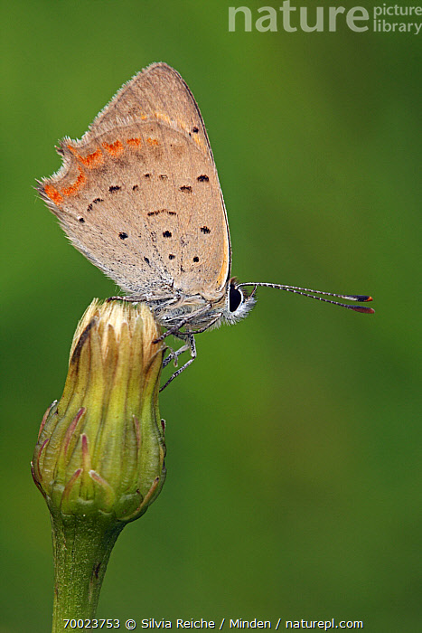Small Copper (Lycaena phlaeas) resting on flower bud, Pruggern, Styria, Austria  ,  Adult, Austria, Bud, Butterfly, Color Image, Day, Full Length, Lycaena phlaeas, Nobody, One Animal, Outdoors, Perched, Photography, Pruggern, Resting, Side View, Small Copper, Styria, Vertical, Wildlife,Small Copper,Austria  ,  Silvia Reiche