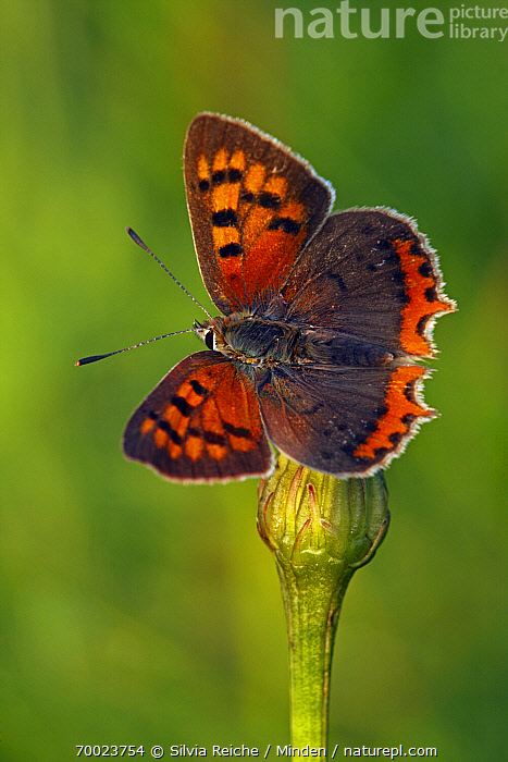 Small Copper (Lycaena phlaeas) with wings open, Pruggern, Styria, Austria  ,  Adult, Austria, Bud, Butterfly, Color Image, Day, Full Length, Lycaena phlaeas, Nobody, One Animal, Outdoors, Perched, Photography, Pruggern, Resting, Small Copper, Styria, Top View, Vertical, Wildlife,Small Copper,Austria  ,  Silvia Reiche