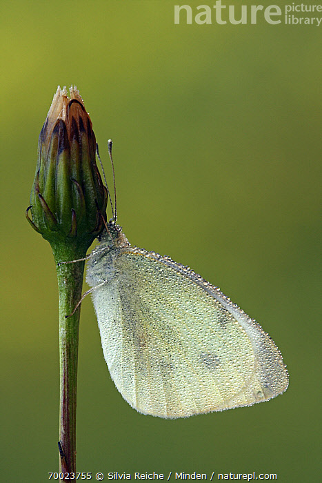Cabbage White (Pieris rapae) covered in dew droplets resting on flower bud, Pruggern, Styria, Austria  ,  Adult, Austria, Bud, Butterfly, Cabbage White, Clinging, Color Image, Day, Dew, Droplet, Full Length, Nobody, One Animal, Outdoors, Photography, Pieris rapae, Pruggern, Resting, Side View, Styria, Vertical, Wildlife,Cabbage White,Austria  ,  Silvia Reiche
