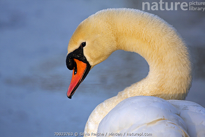 Mute Swan (Cygnus olor), Noord-Brabant, Netherlands  ,  Adult, Color Image, Cygnus olor, Day, Head and Shoulders, Horizontal, Mute Swan, Netherlands, Nobody, Noord-Brabant, One Animal, Outdoors, Photography, Portrait, Profile, Side View, Waterfowl, Wildlife,Mute Swan,Netherlands  ,  Silvia Reiche