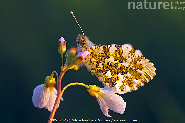 Orange Tip (Anthocharis cardamines) butterfly on Cuckoo Flower (Cardamine pratensis), De Grijze Steen, Noord-Brabant, Netherlands  ,  Adult, Anthocharis cardamines, Butterfly, Cardamine pratensis, Color Image, Cuckoo Flower, Day, Flower, Full Length, Horizontal, Netherlands, Nobody, Noord-Brabant, One Animal, Orange Tip, Outdoors, Perched, Photography, Side View, Wildlife,Orange Tip,Cuckoo Flower,Cardamine pratensis,Netherlands  ,  Silvia Reiche