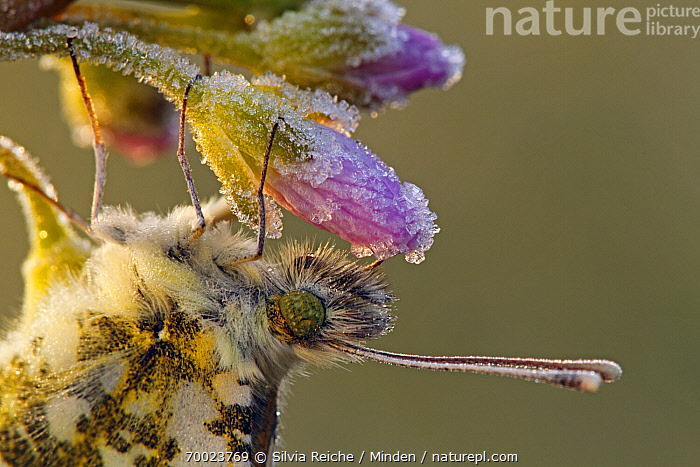 Orange Tip (Anthocharis cardamines) on Cuckoo Flower (Cardamine pratensis) covered with ice crystals, Noord-Brabant, Netherlands  ,  Adult, Anthocharis cardamines, Bud, Butterfly, Cardamine pratensis, Clinging, Color Image, Cuckoo Flower, Day, Hanging, Head and Shoulders, Horizontal, Ice, Netherlands, Nobody, Noord-Brabant, One Animal, Orange Tip, Outdoors, Photography, Portrait, Side View, Wildlife,Orange Tip,Cuckoo Flower,Cardamine pratensis,Netherlands  ,  Silvia Reiche