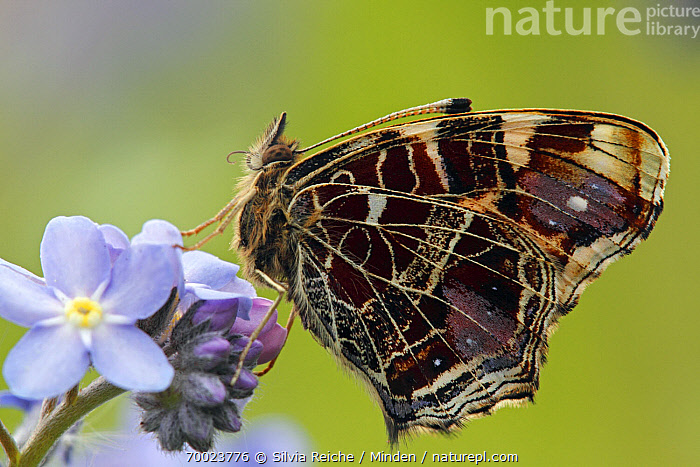 Map Butterfly (Araschnia levana) on Forget-me-not (Myosotis sp), Hoogeloon, Noord-Brabant, Netherlands  ,  Adult, Araschnia levana, Butterfly, Color Image, Day, Flower, Forget-me-not, Full Length, Hoogeloon, Horizontal, Map Butterfly, Myosotis sp, Netherlands, Nobody, Noord-Brabant, One Animal, Outdoors, Perched, Photography, Side View, Wildlife,Map Butterfly,Forget-me-not,Myosotis sp,Netherlands  ,  Silvia Reiche