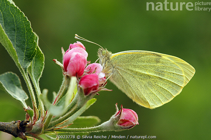 Cabbage Butterfly (Pieris brassicae) on apple blossom, Hoogeloon, Noord-Brabant, Netherlands  ,  Adult, Butterfly, Cabbage Butterfly, Color Image, Day, Flower, Full Length, Hoogeloon, Horizontal, Netherlands, Nobody, Noord-Brabant, One Animal, Outdoors, Perched, Photography, Pieris brassicae, Side View, Wildlife,Cabbage Butterfly,Netherlands  ,  Silvia Reiche