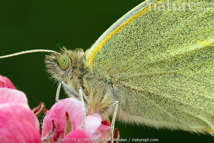 Cabbage Butterfly (Pieris brassicae) on apple blossoms, Hoogeloon, Noord-Brabant, Netherlands  ,  Adult, Butterfly, Cabbage Butterfly, Color Image, Day, Flower, Hoogeloon, Horizontal, Netherlands, Nobody, Noord-Brabant, One Animal, Outdoors, Perched, Photography, Pieris brassicae, Side View, Waist Up, Wildlife,Cabbage Butterfly,Netherlands  ,  Silvia Reiche