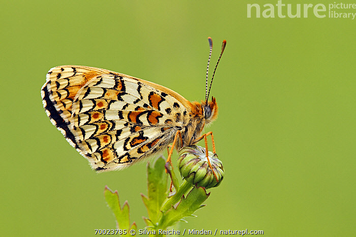 Knapweed Fritillary (Melitaea phoebe) butterfly resting on flower bud, Saint-Jory-las-Bloux, Dordogne, France  ,  Adult, Butterfly, Color Image, Day, Dordogne, France, Full Length, Horizontal, Knapweed Fritillary, Melitaea phoebe, Nobody, One Animal, Outdoors, Photography, Saint-Jory-las-Bloux, Side View, Wildlife,Knapweed Fritillary,France  ,  Silvia Reiche