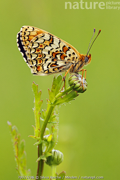 Knapweed Fritillary (Melitaea phoebe) butterfly resting on flower bud, Saint-Jory-las-Bloux, Dordogne, France  ,  Adult, Butterfly, Color Image, Day, Dordogne, France, Full Length, Knapweed Fritillary, Melitaea phoebe, Nobody, One Animal, Outdoors, Perched, Photography, Saint-Jory-las-Bloux, Side View, Vertical, Wildlife,Knapweed Fritillary,France  ,  Silvia Reiche