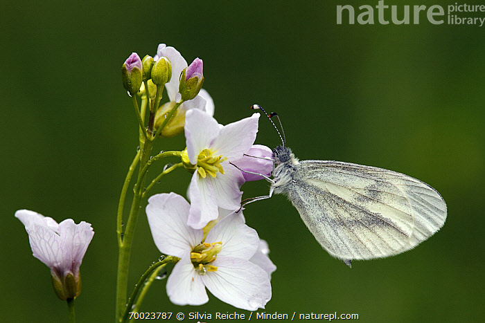 Wood White (Leptidea sinapis) on Cuckoo Flower (Cardamine pratensis), Saint-Jory-las-Bloux, Dordogne, France  ,  Adult, Butterfly, Cardamine pratensis, Color Image, Cuckoo Flower, Day, Dordogne, Flower, France, Full Length, Horizontal, Leptidea sinapis, Nobody, One Animal, Outdoors, Perched, Photography, Saint-Jory-las-Bloux, Side View, Wildlife, Wood White,Wood White,Cuckoo Flower,Cardamine pratensis,France  ,  Silvia Reiche