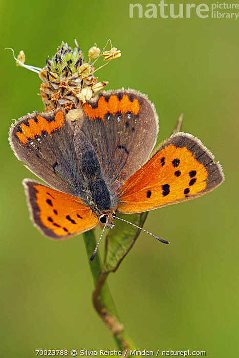 Small Copper (Lycaena phlaeas), Saint-Jory-las-Bloux, Dordogne, France  ,  Adult, Butterfly, Color Image, Day, Dordogne, France, Full Length, Lycaena phlaeas, Nobody, One Animal, Outdoors, Perched, Photography, Saint-Jory-las-Bloux, Small Copper, Top View, Vertical, Wildlife,Small Copper,France  ,  Silvia Reiche