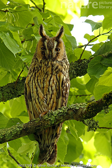 Long-eared Owl (Asio otus) perched on a tree branch, Saint-Jory-las-Bloux, Dordogne, France  ,  Adult, Asio otus, Branch, Color Image, Day, Dordogne, France, Front View, Full Length, Looking at Camera, Long-eared Owl, Nobody, One Animal, Outdoors, Owl, Perched, Photography, Raptor, Saint-Jory-las-Bloux, Vertical, Wildlife,Long-eared Owl,France  ,  Silvia Reiche