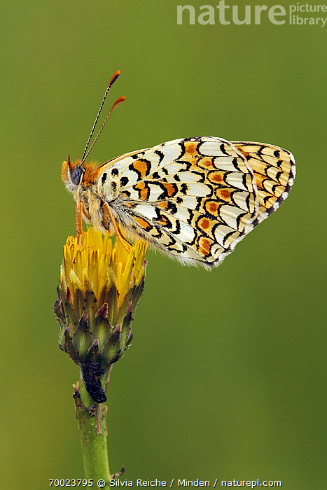 Knapweed Fritillary (Melitaea phoebe) resting on flower bud, Saint-Jory-las-Bloux, Dordogne, France  ,  Adult, Butterfly, Color Image, Day, Dordogne, Flower, France, Full Length, Knapweed Fritillary, Melitaea phoebe, Nobody, One Animal, Outdoors, Perched, Photography, Saint-Jory-las-Bloux, Side View, Vertical, Wildlife, Yellow,Knapweed Fritillary,France  ,  Silvia Reiche