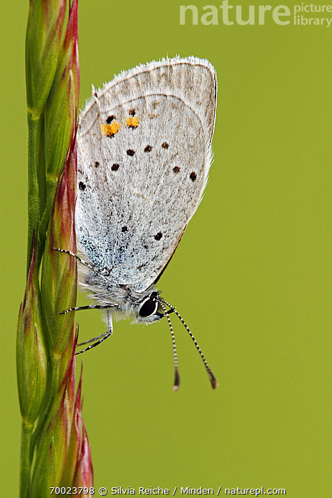 Short-tailed Blue (Cupido argiades) on grass, Saint-Jory-las-Bloux, Dordogne, France  ,  Adult, Butterfly, Color Image, Cupido argiades, Day, Dordogne, France, Full Length, Nobody, One Animal, Outdoors, Perched, Photography, Saint-Jory-las-Bloux, Short-tailed Blue, Side View, Vertical, Wildlife,Short-tailed Blue,France  ,  Silvia Reiche