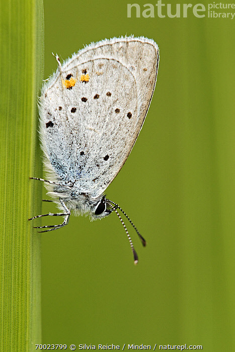 Short-tailed Blue (Cupido argiades) on blade of grass, Saint-Jory-las-Bloux, Dordogne, France  ,  Adult, Butterfly, Color Image, Cupido argiades, Day, Dordogne, France, Full Length, Grass, Nobody, One Animal, Outdoors, Photography, Saint-Jory-las-Bloux, Short-tailed Blue, Side View, Vertical, Wildlife,Short-tailed Blue,France  ,  Silvia Reiche