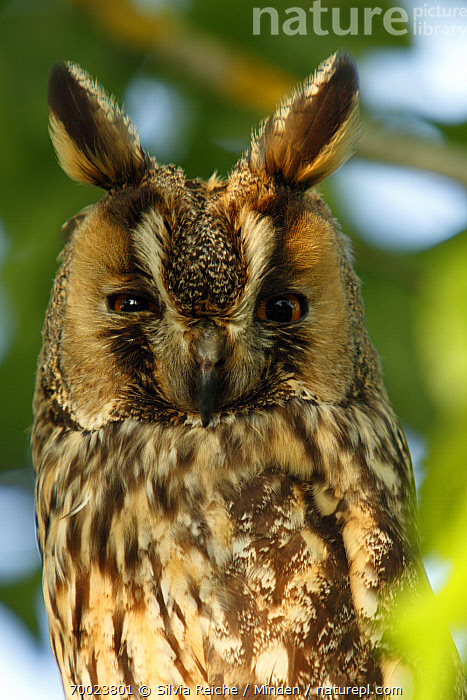 Long-eared Owl (Asio otus), Saint-Jory-las-Bloux, Dordogne, France  ,  Adult, Asio otus, Color Image, Day, Dordogne, Face, France, Front View, Looking at Camera, Long-eared Owl, Low Angle View, Nobody, One Animal, Outdoors, Owl, Photography, Portrait, Raptor, Saint-Jory-las-Bloux, Vertical, Waist Up, Wildlife,Long-eared Owl,France  ,  Silvia Reiche