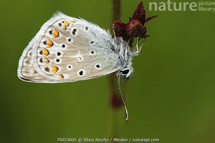 Common Blue (Polyommatus icarus) resting on flower bud, Saint-Jory-las-Bloux, Dordogne, France  ,  Adult, Butterfly, Color Image, Common Blue, Day, Dordogne, France, Full Length, Hanging, Horizontal, Nobody, One Animal, Outdoors, Photography, Polyommatus icarus, Saint-Jory-las-Bloux, Side View, Upside Down, Wildlife,Common Blue,France  ,  Silvia Reiche