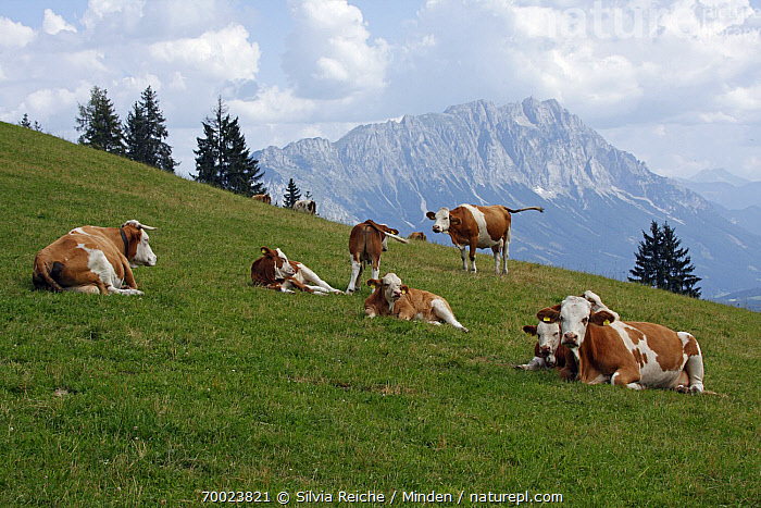 Domestic Cattle (Bos taurus) cows on alpine meadow, Pruggern, Styria, Austria  ,  Adult, Animal in Habitat, Austria, Bos taurus, Cattle, Color Image, Day, Domestic Animal, Full Length, Horizontal, Meadow, Medium Group of Animals, Mountain Range, Nobody, Outdoors, Pasture, Photography, Pruggern, Side View, Styria,Domestic Cattle,Austria  ,  Silvia Reiche