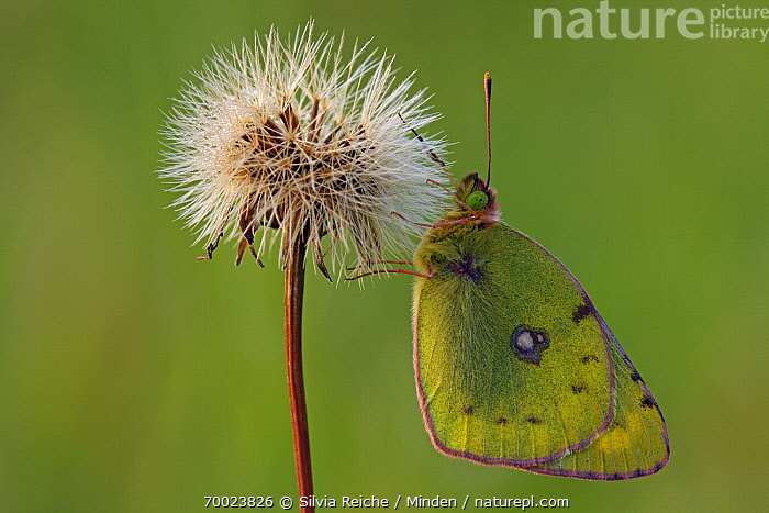 Danube Clouded Yellow (Colias myrmidone) butterfly on seedhead, Pruggern, Styria, Austria  ,  Adult, Austria, Butterfly, Clinging, Color Image, Colias myrmidone, Danube Clouded Yellow, Day, Full Length, Hanging, Horizontal, Nobody, One Animal, Outdoors, Photography, Pruggern, Seed Head, Side View, Styria, Wildlife,Danube Clouded Yellow,Austria  ,  Silvia Reiche