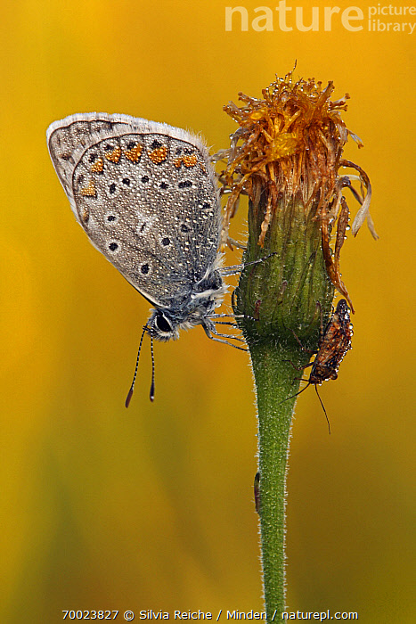 Common Blue (Polyommatus icarus) covered in dew droplets, Pruggern, Styria, Austria  ,  Adult, Austria, Butterfly, Color Image, Common Blue, Day, Dew, Droplet, Full Length, Nobody, One Animal, Outdoors, Photography, Polyommatus icarus, Pruggern, Side View, Styria, Vertical, Wildlife,Common Blue,Austria  ,  Silvia Reiche