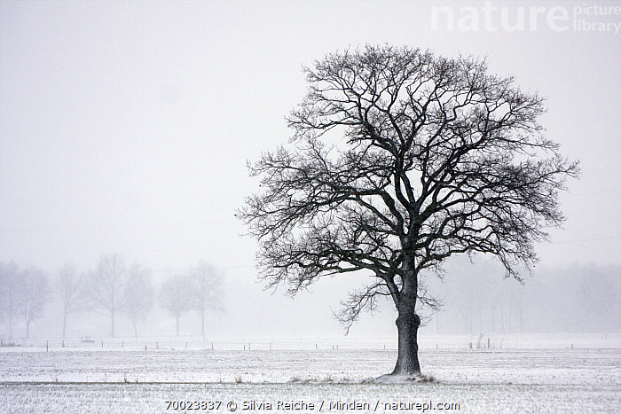 Tree in winter landscape, Hoogeloon, Noord-Brabant, Netherlands  ,  Color Image, Day, Hoogeloon, Horizontal, Landscape, Leafless, Netherlands, Nobody, Noord-Brabant, One Object, Outdoors, Photography, Snow, Tree, Winter,Netherlands  ,  Silvia Reiche