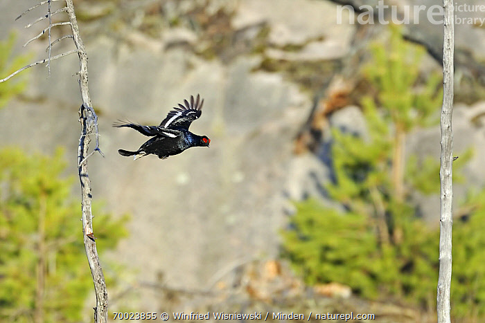 Black Grouse (Tetrao tetrix) flying, Trollhattan, Sweden  ,  Adult, Black Grouse, Color Image, Day, Flying, Full Length, Game Bird, Horizontal, Nobody, One Animal, Outdoors, Photography, Side View, Sweden, Tetrao tetrix, Trollhattan, Wildlife,Black Grouse,Sweden  ,  Winfried Wisniewski