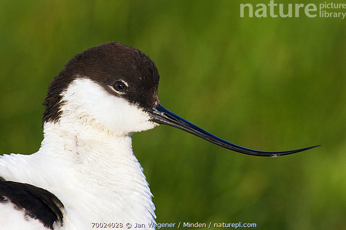 Pied Avocet (Recurvirostra avosetta), Texel, Noord-Holland, Netherlands  ,  Adult, Color Image, Day, Face, Head and Shoulders, Horizontal, Netherlands, Nobody, Noord-Holland, One Animal, Outdoors, Photography, Pied Avocet, Portrait, Recurvirostra avosetta, Shorebird, Side View, Texel, Wildlife,Pied Avocet,Netherlands  ,  Jan Wegener