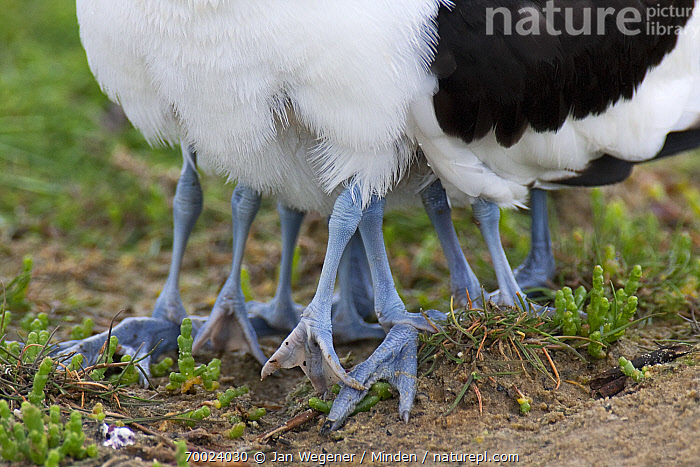 Pied Avocet (Recurvirostra avosetta) chicks hiding underneath their parent, Texel, Noord-Holland, Netherlands  ,  Adult, Chick, Close Up, Color Image, Day, Feather, Feet, Female, Four Animals, Hiding, Horizontal, Leg, Mother, Netherlands, Nobody, Noord-Holland, Outdoors, Parent, Parenting, Photography, Pied Avocet, Protecting, Rear View, Recurvirostra avosetta, Shorebird, Texel, Wildlife,Pied Avocet,Netherlands  ,  Jan Wegener