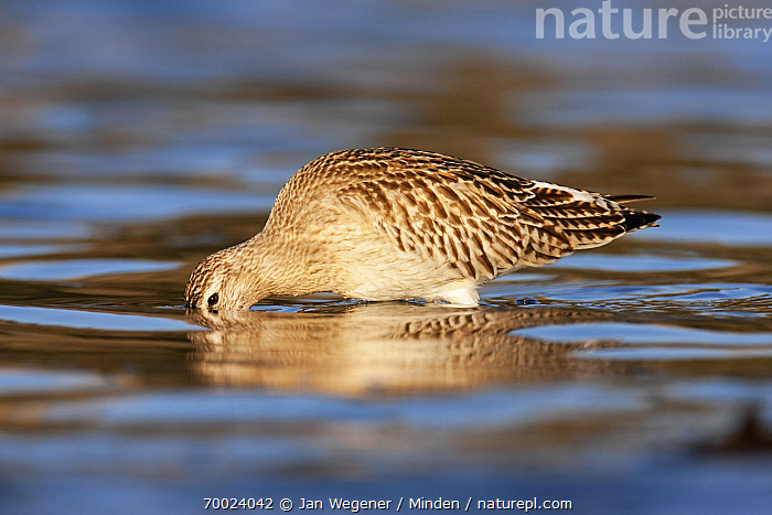Bar-tailed Godwit (Limosa lapponica) foraging, Helgoland, Germany  ,  Adult, Bar-tailed Godwit, Color Image, Day, Foraging, Full Length, Germany, Helgoland, Horizontal, Limosa lapponica, Nobody, One Animal, Outdoors, Photography, Shallow Water, Shorebird, Side View, Wildlife,Bar-tailed Godwit,Germany  ,  Jan Wegener