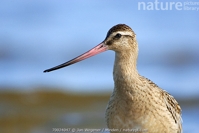 Bar-tailed Godwit (Limosa lapponica), North Sea, Germany  ,  Adult, Bar-tailed Godwit, Color Image, Day, Face, Front View, Germany, Horizontal, Limosa lapponica, Looking at Camera, Nobody, North Sea, One Animal, Outdoors, Photography, Portrait, Profile, Shorebird, Wildlife,Bar-tailed Godwit,Germany  ,  Jan Wegener