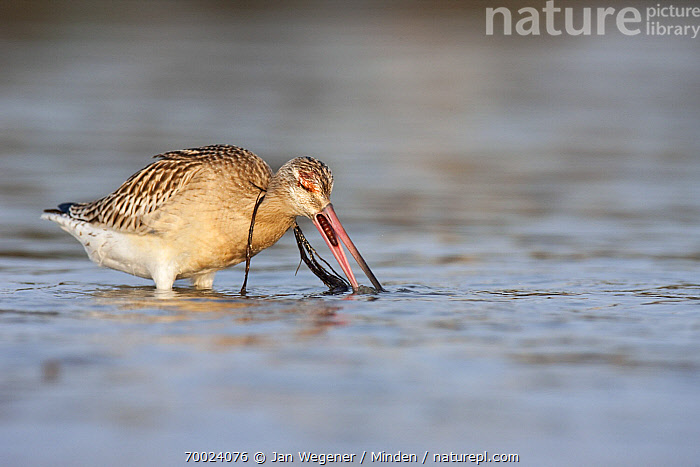 Bar-tailed Godwit (Limosa lapponica) foraging with seagrass around neck, Helgoland, Germany  ,  Adult, Algae, Bar-tailed Godwit, Color Image, Day, Foraging, Full Length, Germany, Helgoland, Horizontal, Limosa lapponica, Nobody, One Animal, Outdoors, Photography, Seagrass, Shorebird, Side View, Wading, Wildlife,Bar-tailed Godwit,Germany  ,  Jan Wegener