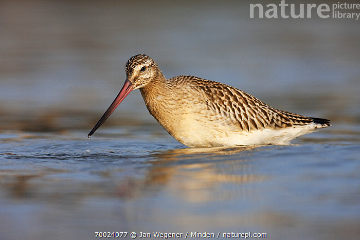 Bar-tailed Godwit (Limosa lapponica) in shallow water, Helgoland, Germany  ,  Adult, Bar-tailed Godwit, Color Image, Day, Full Length, Germany, Helgoland, Horizontal, Limosa lapponica, Nobody, One Animal, Outdoors, Photography, Shorebird, Side View, Wading, Wildlife,Bar-tailed Godwit,Germany  ,  Jan Wegener