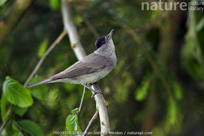 Blackcap (Sylvia atricapilla) male, Lower Saxony, Germany  ,  Adult, Blackcap, Color Image, Day, Full Length, Germany, Horizontal, Lower Saxony, Male, Nobody, One Animal, Outdoors, Photography, Side View, Songbird, Sylvia atricapilla, Wildlife,Blackcap,Germany  ,  Duncan Usher
