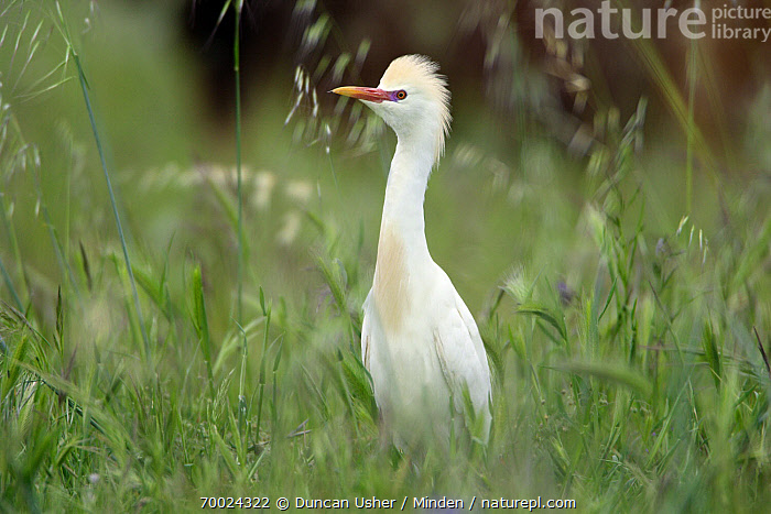 Cattle Egret (Bubulcus ibis) male on meadow, Alentejo, Portugal  ,  Adult, Alentejo, Bubulcus ibis, Cattle Egret, Color Image, Day, Full Length, Horizontal, Male, Nobody, One Animal, Outdoors, Photography, Portugal, Side View, Wading Bird, Wildlife,Cattle Egret,Portugal  ,  Duncan Usher