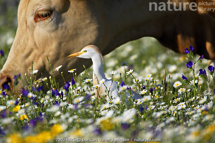Cattle Egret (Bubulcus ibis) next to Domestic Cattle (Bos taurus), Alentejo, Portugal  ,  Adult, Alentejo, Bubulcus ibis, Cattle Egret, Color Image, Commensal, Day, Domestic Animal, Full Length, Head, Horizontal, Nobody, Outdoors, Photography, Portrait, Portugal, Side View, Two Animals, Wading Bird,Cattle Egret,Domestic Cattle,Bos taurus,Portugal  ,  Duncan Usher