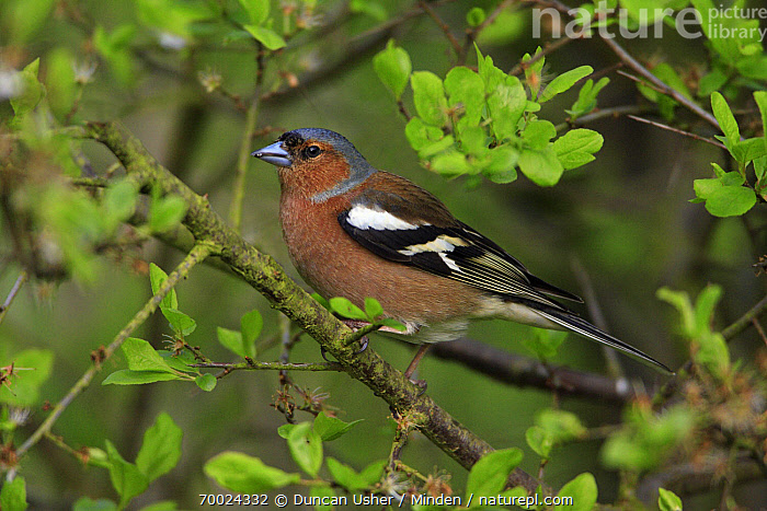 Chaffinch (Fringilla coelebs) male, Lower Saxony, Germany  ,  Adult, Chaffinch, Color Image, Day, Fringilla coelebs, Full Length, Germany, Horizontal, Lower Saxony, Male, Nobody, One Animal, Outdoors, Photography, Side View, Songbird, Wildlife,Chaffinch,Germany  ,  Duncan Usher