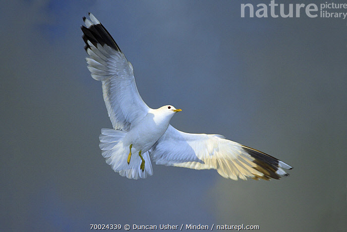 Mew Gull (Larus canus) flying, Texel, Noord-Holland, Netherlands  ,  Adult, Color Image, Day, Flying, Full Length, Horizontal, Larus canus, Mew Gull, Netherlands, Nobody, Noord-Holland, One Animal, Outdoors, Overhead, Photography, Seabird, Texel, Underside, Wildlife,Mew Gull,Netherlands  ,  Duncan Usher