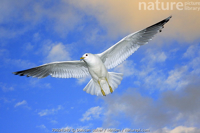 Mew Gull (Larus canus) flying, Texel, Noord-Holland, Netherlands  ,  Adult, Color Image, Day, Flying, Front View, Full Length, Horizontal, Inspirational, Larus canus, Mew Gull, Netherlands, Nobody, Noord-Holland, One Animal, Outdoors, Photography, Seabird, Texel, Underside, Wildlife,Mew Gull,Netherlands  ,  Duncan Usher
