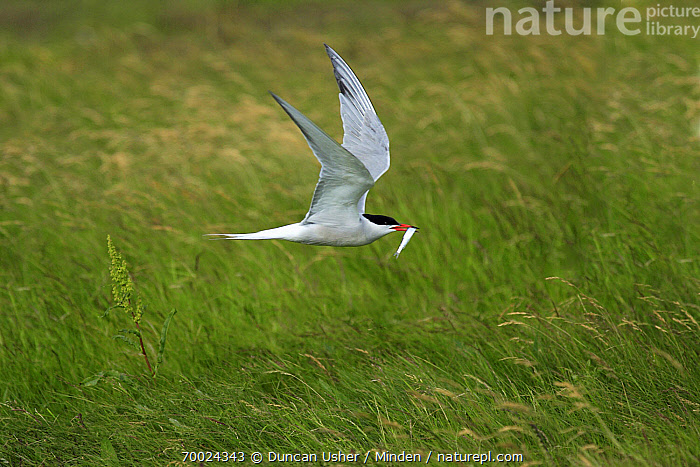 Common Tern (Sterna hirundo) flying with fish in its bill, Texel, Noord-Holland, Netherlands  ,  Adult, Carrying, Color Image, Common Tern, Day, Fish, Flying, Food, Full Length, Horizontal, Netherlands, Nobody, Noord-Holland, One Animal, Outdoors, Photography, Prey, Seabird, Side View, Sterna hirundo, Texel, Wildlife,Common Tern,Netherlands  ,  Duncan Usher