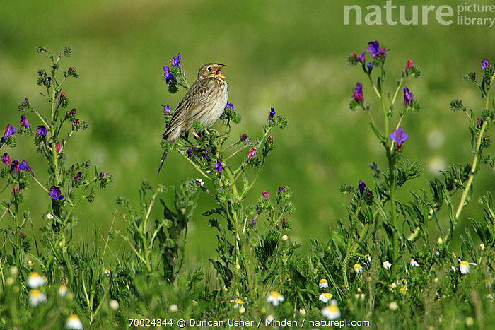Corn Bunting (Emberiza calandra) singing on meadow, Alentejo, Portugal  ,  Adult, Alentejo, Color Image, Corn Bunting, Day, Emberiza calandra, Full Length, Horizontal, Nobody, One Animal, Outdoors, Photography, Portugal, Side View, Singing, Wildlife,Corn Bunting,Portugal  ,  Duncan Usher