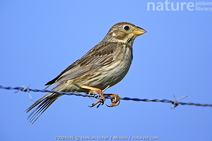 Corn Bunting (Emberiza calandra) on barbed wire, Alentejo, Portugal  ,  Adult, Alentejo, Barbed Wire, Color Image, Corn Bunting, Day, Emberiza calandra, Fence, Full Length, Horizontal, Nobody, One Animal, Outdoors, Photography, Portugal, Side View, Wildlife,Corn Bunting,Portugal  ,  Duncan Usher