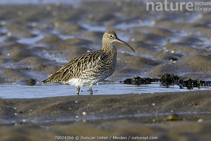 Eurasian Curlew (Numenius arquata) on mudflats at low tide, Northumberland, England  ,  Adult, Color Image, Day, England, Eurasian Curlew, Foraging, Full Length, Horizontal, Low Tide, Mudflat, Nobody, Northumberland, Numenius arquata, One Animal, Outdoors, Photography, Shorebird, Side View, Wildlife,Eurasian Curlew,England  ,  Duncan Usher