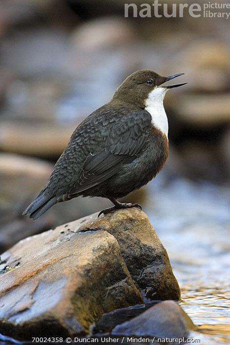 White-throated Dipper (Cinclus cinclus) singing, Lower Saxony, Germany  ,  Adult, Cinclus cinclus, Color Image, Day, Full Length, Germany, Lower Saxony, Nobody, One Animal, Outdoors, Photography, Side View, Singing, Songbird, Vertical, White-throated Dipper, Wildlife,White-throated Dipper,Germany  ,  Duncan Usher