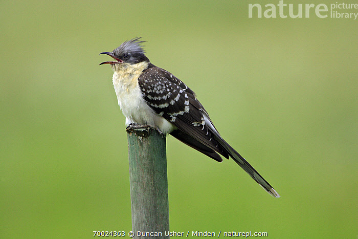 Great Spotted Cuckoo (Clamator glandarius) calling, Alentejo, Portugal  ,  Adult, Alentejo, Calling, Clamator glandarius, Color Image, Day, Full Length, Great Spotted Cuckoo, Horizontal, Nobody, One Animal, Outdoors, Photography, Portugal, Side View, Wildlife,Great Spotted Cuckoo,Portugal  ,  Duncan Usher