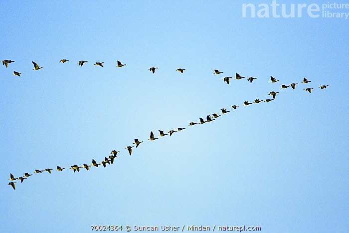 Pink-footed Goose (Anser brachyrhynchus) flock flying in formation, Northumberland, England  ,  Adult, Anser brachyrhynchus, Color Image, Day, England, Flock, Flying, Formation, Full Length, Horizontal, Large Group of Animals, Migrating, Nobody, Northumberland, Outdoors, Photography, Pink-footed Goose, Side View, Waterfowl, Wildlife,Pink-footed Goose,England  ,  Duncan Usher