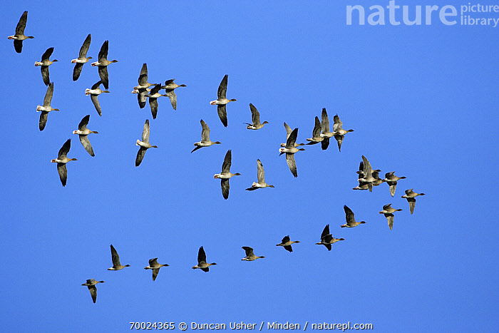 Pink-footed Goose (Anser brachyrhynchus) flock flying in formation, Northumberland, England  ,  Adult, Anser brachyrhynchus, Color Image, Day, England, Flock, Flying, Formation, Full Length, Horizontal, Large Group of Animals, Migrating, Nobody, Northumberland, Outdoors, Photography, Pink-footed Goose, Underside, Waterfowl, Wildlife,Pink-footed Goose,England  ,  Duncan Usher