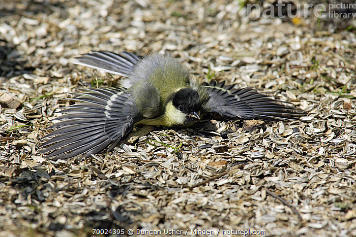 Great Tit (Parus major) sunbathing in garden, Lower Saxony, Germany  ,  Adult, Color Image, Day, Full Length, Germany, Great Tit, Horizontal, Lower Saxony, Nobody, One Animal, Outdoors, Parus major, Photography, Side View, Songbird, Sunbathing, Thermoregulating, Wildlife,Great Tit,Germany  ,  Duncan Usher